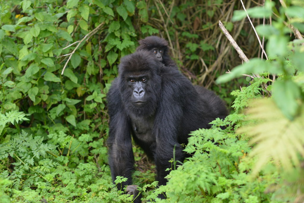 Mountain Gorilla in Bwindi Impenetrable Forest National Park